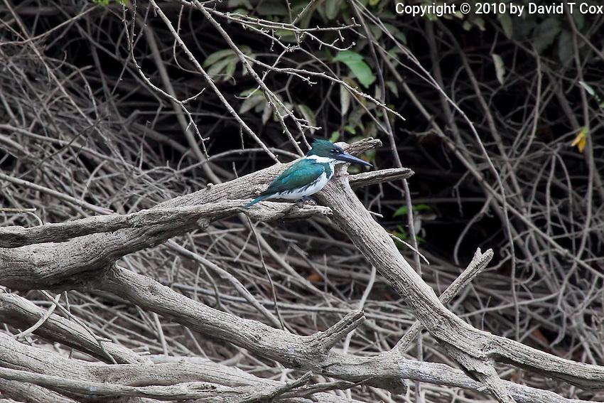 Amazon Kingfisher, Lago Petexbatun, Guatemala