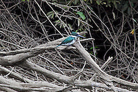 Amazon Kingfisher, Lago Petexbatun, Guatemala