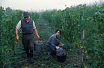 WINE IN ENGLAND, SOMERSET, GRAPE PICKING AT AVALON VINEYARD IS AN ORGANIC VINEYARD 1989 UK