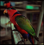 August 2000. Jakarta, Indonesia. A wild parrot from the Malukku islands is for sale on Jalan Balito in Jakarta. The parrot is endandered and since Suhartos downfall the endangered animal business has proliferated because of government corruption and inability to police the industry