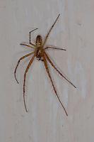 Herbstspinne, Männchen, Herbst-Spinne, Metellina segmentata, Meta segmentata, Autumn spider, Autumn-spider, Lesser Garden Spider