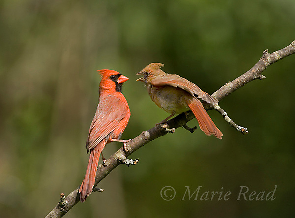 Northern Cardinal (Cardinalis cardinalis) adult male (left) with begging fledgling (right), New York, USA