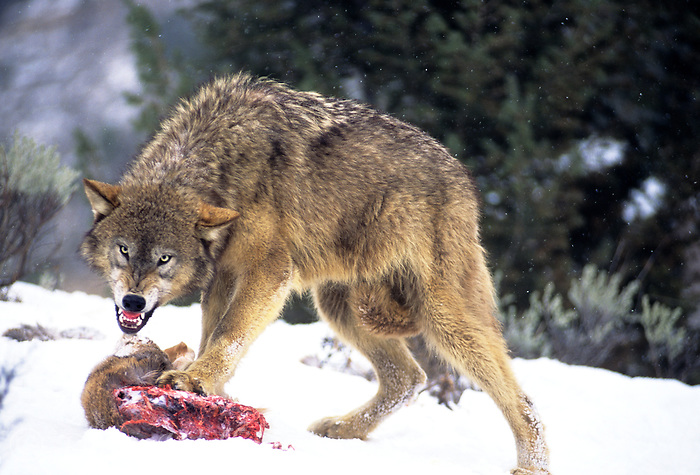 694926471 a captive gray wolf  canis lupus stands over a deer kill in a snowbank defending it by snarling at an intruder and baring its fangs in central montana