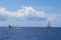 A sailboat full of tourists watching a humpback whale's tail off the coast of Maui