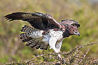 Large Martial eagle landing in a treetop with open wings and spread tail feathers in the Masai Mara Reserve, Kenya, Africa (photo by Wildlife Photographer Matt Considine)