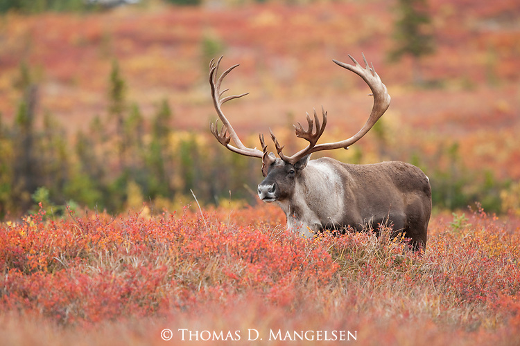 A caribou walking in Denali National Park, Alaska.