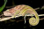 O'Shaughnessy's Chameleon, Calumma oshaughnessyi, Ranomafana National Park, Madagascar, on branch at night, Vulnerable on the IUCN Red List