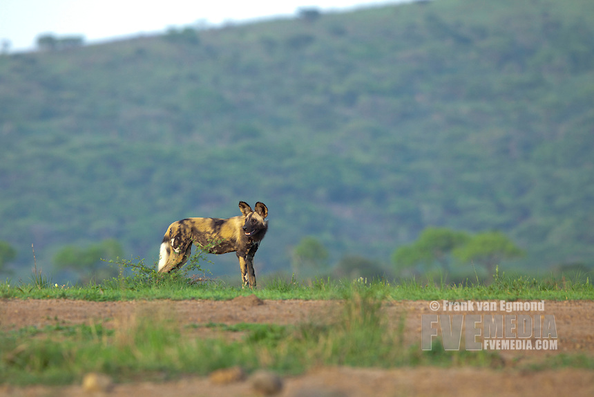 African Wild Dog (Lycaon pictus)...Endangered species...Hluhluwe Imfolozi Game Reserve..Kwazulu-Natal, South Africa..November 2010.