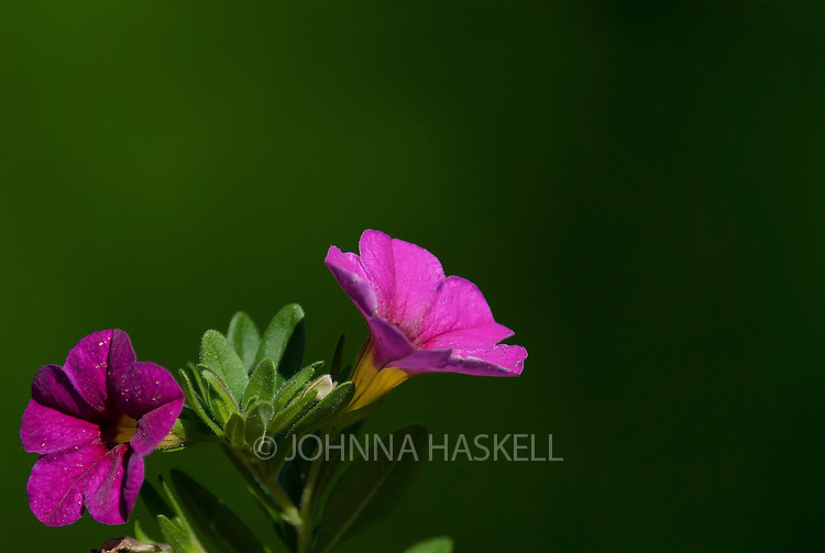 Tiny bell pink petunia with green background in early morning light.