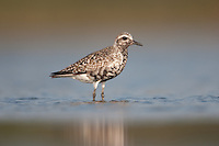Black-bellied Plover (Pluvialis squatarola) - Juvenile, East Pond, Jamaica Bay Wildlife Refuge