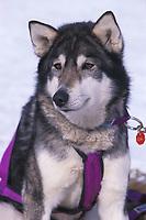 D Sawatzky's Dog Rests Grayling 99 Iditarod AK