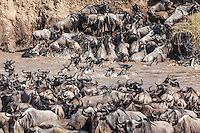 Scores of wildebeest thronging the banks of the Mara River as others brave the crocodiles and swim across during the migration in the Masai Mara, Kenya, Africa (photo by Wildlife Photographer Matt Considine)