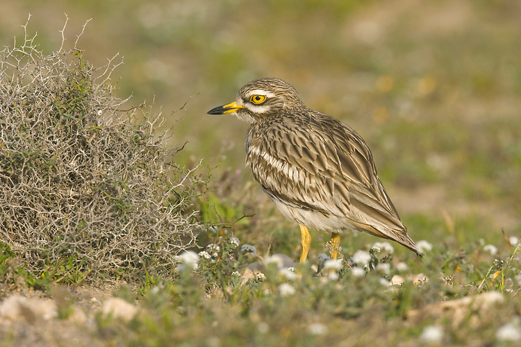 Stone-curlew Burhinus oedicnemus L 38-45cm. Secretive, dry-country wader best known for its eerie calls. Well camouflaged in dry grassland and hard to spot. In flight, looks long-winged and gull-like, with striking black and white pattern on upperwing. Sexes are similar. Adult has streaked sandy brown plumage; black and white wingbars can be seen in standing birds. Has yellow legs, black-tipped yellow bill and large yellow eyes. Juvenile is similar to adult but markings are less distinctive. Voice Utters strange, curlew-like wails at dusk and throughout night. Status Scarce migrant visitor. Nests on chalk downs, Breckland heaths and suitably managed arable farmland.
