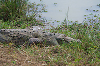 Saltwater Crocodile, out of the 23 extant crocodile species in the world, two species, the Saltwater and the Mugger or Marsh crocodile (Crocodylus palustris) inhabit Sri Lanka