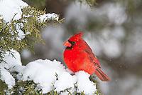 01530-21219 Northern Cardinal (Cardinalis cardinalis) male in Keteleeri Juniper tree (Juniperus chinensis 'Keteleeri') in winter, Marion Co., IL