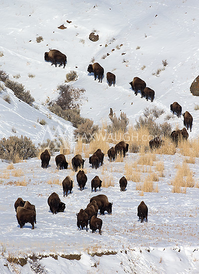 Bison are well-built to survive harsh Yellowstone winters.