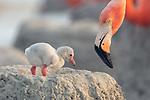 American Flamingo (Phoenicopterus ruber) chick. Yucatan, Mexico.