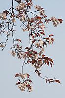 Fresh cherry blossom heralds the arrival of spring