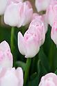 Tulip 'Meissner Porzellan (Triumph Group), mid May. Raised in 1952 by Konijnenburg & Mark.