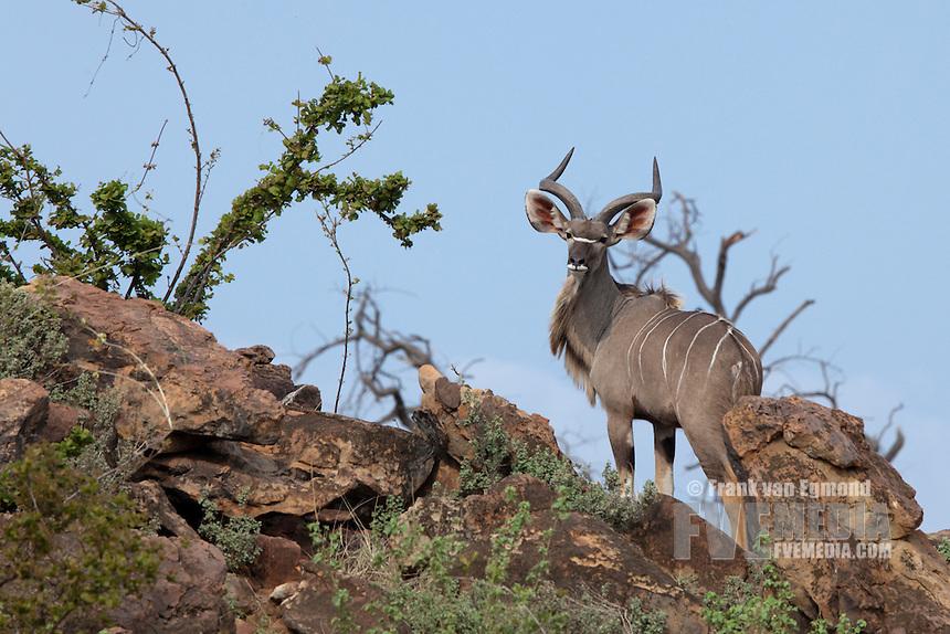 Kudu (Tragelaphus Strepsiceros) on a rocky cliff...Mashatu Game Reserve..Tuli block, Botswana..November 2010.