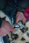 Snow Leopard (Panthera uncia) biologist, Shannon Kachel, measuring testicles during collaring of male snow leopard, Sarychat-Ertash Strict Nature Reserve, Tien Shan Mountains, eastern Kyrgyzstan