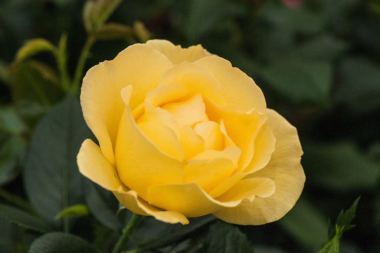 Rosa The Brownie Rose ('Harlassie'), a floribunda in with bright yellow flowers and a citrus-based scent. From Harkness Roses.