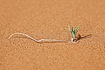 A single tiny green plant in desert sand, Merzouga, Morocco.