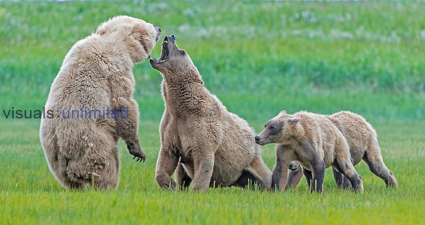 Two female Alaska Peninsula Brown Bears, one protecting her cubs (Ursus arctos horribilis), Hallo Bay, Katmai National Park, Alaska, USA.