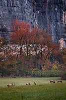 Arkansas bull elk watching over his herd at Steel Creek campground on the Buffalo National River in the fall during the rut or mating season.
