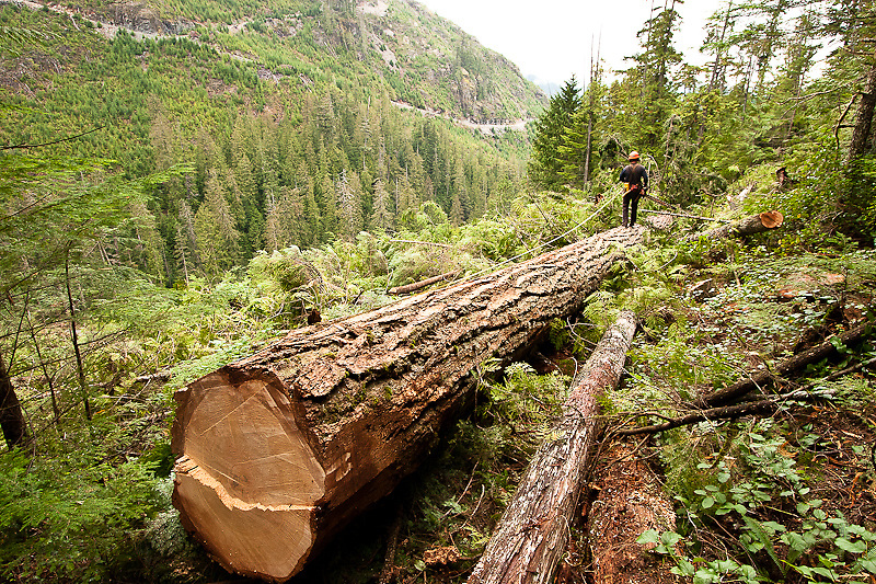 Faller Al Coutts measures the first log from a recently fallen Douglas Fir in a valley near McCreight Lake in the Sayward forest, September 2005.