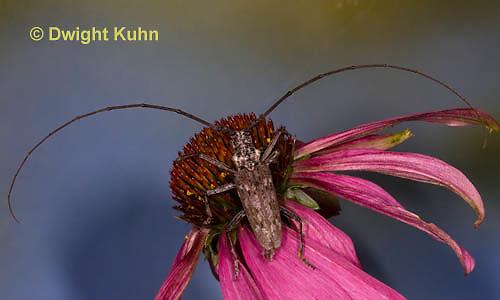 1C38-542z  Male Northeastern Pine Sawyer Beetle, Monochamus notatus