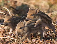 Germany, DEU, Arnsberg, 2005-Feb-07: Three  young wild boars (sus scrofa), about two weeks old, running over the ground in the Wildwald Vosswinkel preserve.