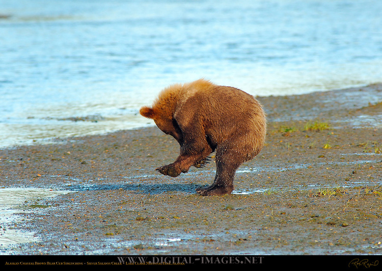 Alaskan Coastal Brown Bear Cub Stretching, Silver Salmon Creek, Lake Clark National Park, Alaska