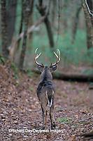 01982-01816 White-tailed Deer (Odocoileus virginianus) buck   TN