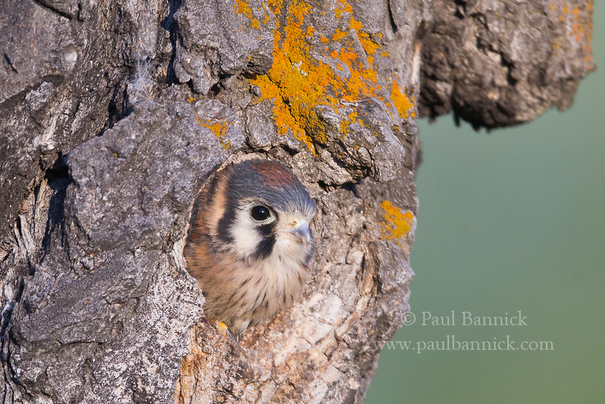 An American Kestrel chick peers from a Northern Flicker cavity in an old aspen snag, as he prepares to fledge.
