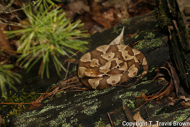 Copperhead found in natural resting pose.