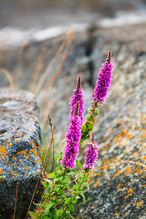 Fackelblomster i en klippskreva på Finnskär i Stockholms skärgård/ Archipelago