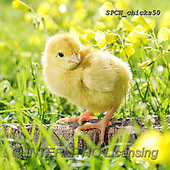 Xavier, EASTER, OSTERN, PASCUA, photos+++++,SPCHCHICKS50,#e#, EVERYDAY ,chicken