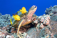 Green Sea Turtle, Chelonia mydas, endangered species, being cleaned by yellow tang, Zebrasoma flavescens, and gold-ring surgeonfish, Ctenochaetus strigosus, Kona, Big Island, Hawaii, Pacific Ocean