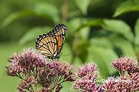 03421-00719 Viceroy (Limenitis archippus) on Joe Pye Weed (Eutrochium purpureum) Marion Co. IL