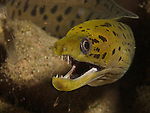 Gong Guan Harbor, Green Island -- A fimbriated moray (Gymnothorax fimbriatus) on a nocturnal hunt.