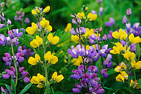 Lupine (Lupinus ?) and Yellow pea growing together in Southern Cascades of Washington State.  June.