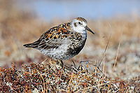 Adult Rock Sandpiper (Calidris ptilocnemis) of the subspecies C. p. tschuktschorum in breeding plumage. Seward Peninsula, Alaska. June.