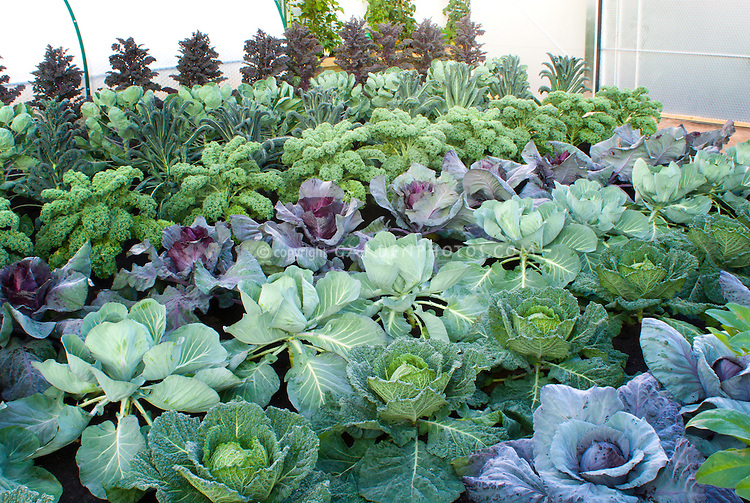 Kale cabbages vegetable garden plant flower stock for Growing a vegetable garden
