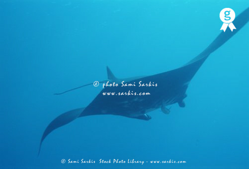 Giant manta ray (Manta birostris), rear view, underwater view (Licence this image exclusively with Getty: http://www.gettyimages.com/detail/200388011-001 )