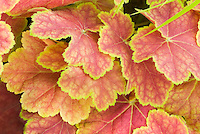 Orange ornamental leaves of Heuchera Tiramisu
