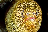 goldentail moray, Gymnothorax miliaris, Bonaire, Netherlands Antilles, Caribbean Sea, Atlantic Ocean