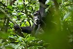 Africa, Uganda, Kibale National Park, Ngogo Chimpanzee Community. Wild Chimpanzee