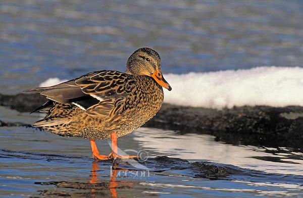 Mallard hen. Winter. Pacific Northwest..(Anas platyrhynchos).