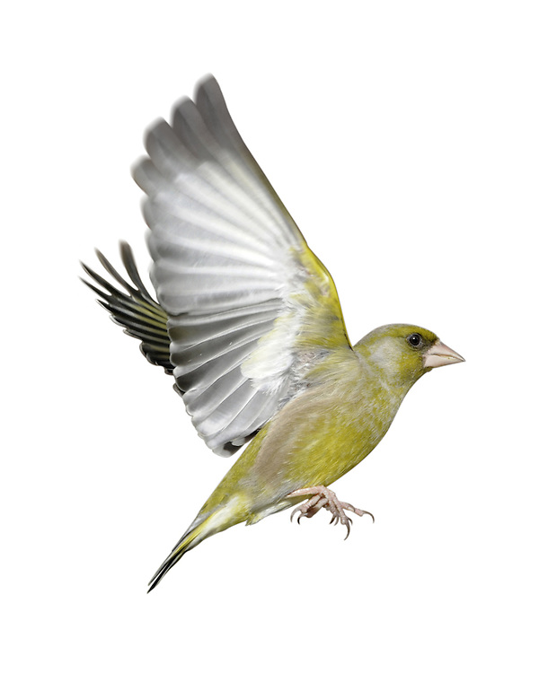 Greenfinch - Carduelis chloris. L 14-15cm. Familiar greenish finch with pinkish, conical bill, yellowish patch on wings and yellow sides to base of tail. Sexes are dissimilar. Adult male is mainly yellowish green, darkest on back, with grey on face, sides of neck, and on wings. Intensity of colour increases through winter as pale feather fringes are worn. Adult female is similar but duller and faintly streaked. Juvenile recalls adult female but back and pale underparts are obviously streaked. Voice Utters a sharp jrrrup call in flight. Song comprises well-spaced wheezy weeeish phrases or rapid, trilling whistles. Status Fairly common. In breeding season, favours parks, gardens and hedgerows. In winter, forms flocks that visit gardens and arable fields.